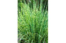MISCANTHUS SINENSIS ZEBRINUS ZEBRA ORNAMENTAL GRASS 1 LITRE POTTED PLANT - PRICED INDIVIDUALLY