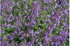NEPETA MUSSINII CATMINT BLUE / PURPLE PERENNIAL 1 LITRE POTTED PLANT - PRICED INDIVIDUALLY