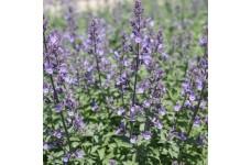 NEPETA FAASSENII SIX HILLS GIANT CATMINT PERENNIAL PLUG PLANT (3CM PLUG) - PRICED INDIVIDUALLY