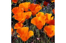 CALIFORNIA POPPY GOLDEN WEST SEEDS - ESCHSCHOLTZIA CALIFORNICA - 2000 SEEDS