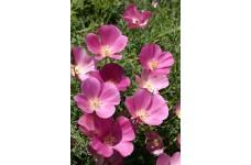 CALIFORNIA POPPY PURPLE GLEAM SEEDS - ESCHSCHOLTZIA CALIFORNICA - 2000 SEEDS