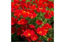 CALIFORNIA POPPY RED CHIEF SEEDS - ESCHSCHOLTZIA CALIFORNICA - 2000 SEEDS