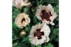 PAPAVER ORIENTALE CHECKERS ORIENTAL POPPY PERENNIAL 1 LITRE POTTED PLANT - PRICED INDIVIDUALLY