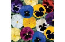 PANSY DELTA MIX MINI PLUG PLANT (1CM PLUG) - PRICED INDIVIDUALLY