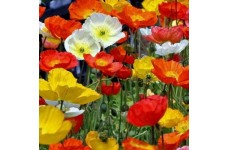 PAPAVER NUDICAULE POPPY GARDEN GNOME 0.5L / 9CM POTTED PLANT - PRICED INDIVIDUALLY