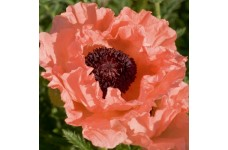 PAPAVER ORIENTALE PRINCESS VICTORIA LOUISE ORIENTAL POPPY PERENNIAL 1 LITRE POTTED PLANT - PRICED INDIVIDUALLY