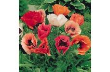 PAPAVER ORIENTALE POPPY PIZZICATO MIXED PLUG PLANT (5CM PLUG) - PRICED INDIVIDUALLY