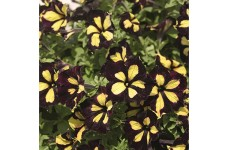 PETUNIA ATKINSIANA PEGASUS SPECIAL BANOFFEE PIE ANNUAL 1 LITRE POTTED PLANT - PRICED INDIVIDUALLY