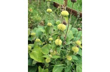 PHLOMIS RUSSELIANA TURKISH SAGE PERENNIAL 2 LITRE POTTED PLANT - PRICED INDIVIDUALLY