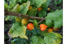 PHYSALIS ALKEGENGI CHINESE LANTERN PLANT PERENNIAL 1 LITRE POTTED PLANT - PRICED INDIVIDUALLY