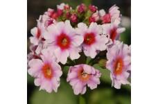 PRIMULA JAPONICA APPLE BLOSSOM PLUG PLANT (5CM PLUG) - PRICED INDIVIDUALLY