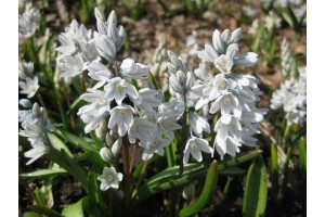 PUSCHKINIA SCILLOIDES LIBANOTICA BULBS - WHITE - RUSSIAN SNOW DROPS - PRICED INDIVIDUALLY