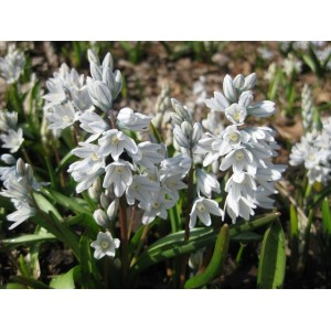 PUSCHKINIA SCILLOIDES LIBANOTICA BULBS - WHITE - RUSSIAN SNOW DROPS - PRICED INDIVIDUALLY