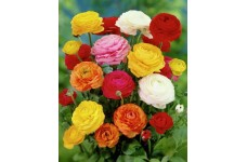 RANUNCULUS BULBS - MIXED COLOURS - PERSIAN BUTTERCUP - PRICED INDIVIDUALLY