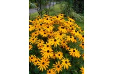 RUDBECKIA FULGIDA SULLIVANTII GOLDSTURM BLACK EYED SUSAN PERENNIAL 1 LITRE POTTED PLANT - PRICED INDIVIDUALLY