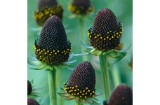RUDBECKIA OCCIDENTALIS GREEN WIZARD PERENNIAL 0.5L / 9CM POTTED PLANT - PRICED INDIVIDUALLY