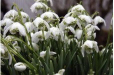 GALANTHUS NIVALIS FLORE PLENO DOUBLE SNOWDROP BULBS (IN THE GREEN) PERENNIAL - PRICED INDIVIDUALLY
