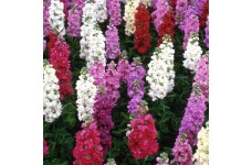 STOCK NIGHT SCENTED MIX - 10 WEEK BEDDING - 0.5L / 9CM POTTED PLANT - PRICED INDIVIDUALLY