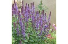 SALVIA SUPERBA BLUE QUEEN MINI PLUG PLANT (1CM PLUG) - PRICED INDIVIDUALLY