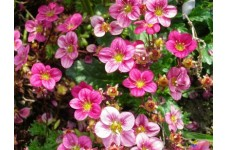 SAXIFRAGA ARENDSII FLOWER / FLORAL CARPET PINK PERENNIAL 1 LITRE POTTED PLANT - PRICED INDIVIDUALLY