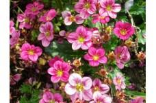 SAXIFRAGA ARENDSII FLOWER / FLORAL CARPET PINK PERENNIAL PLUG PLANT (5CM PLUG) - PRICED INDIVIDUALLY