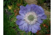 SCABIOSA BLUE PERFECTION PINCUSHION PERENNIAL 1 LITRE POTTED PLANT - PRICED INDIVIDUALLY