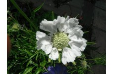 SCABIOSA WHITE PERFECTION PINCUSHION PERENNIAL 1 LITRE POTTED PLANT - PRICED INDIVIDUALLY