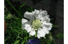 SCABIOSA WHITE PERFECTION PINCUSHION PERENNIAL PLUG PLANT (5CM PLUG) - PRICED INDIVIDUALLY