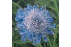 SCABIOSA JAPONICA RITZ BLUE PERENNIAL PLUG PLANT (5CM PLUG) - PRICED INDIVIDUALLY