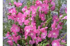 SIDALCEA HYBRIDA PARTY GIRL PRAIRIE MALLOW PINK PERENNIAL 1 LITRE POTTED PLANT - PRICED INDIVIDUALLY