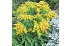 SOLIDAGO CANDENSIS GOLDEN BABY (DWARF) PERENNIAL PLUG PLANT (5CM PLUG) - PRICED INDIVIDUALLY