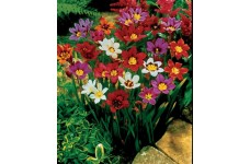 SPARAXIS HARLEQUIN FLOWER BULBS - SPRING FLOWERING  - PRICED INDIVIDUALLY
