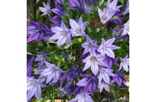 TRITELEIA CORRINA BULBS - TRIPLET LILY GRASSNUT SPEAR LAXA PERENNIAL - PRICED INDIVIDUALLY
