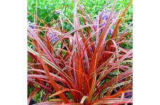 UNCINIA RUBRA FIREDANCE RED ORNAMENTAL GRASS 2 LITRE POTTED PLANT - PRICED INDIVIDUALLY