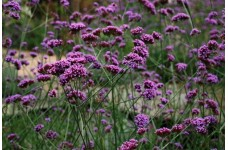 VERBENA BONARIENSIS BRIGHT PURPLE / BLUE CLUSTERS PERENNIAL 1 LITRE POTTED PLANT - PRICED INDIVIDUALLY