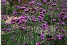VERBENA BONARIENSIS PLUG PLANT (5CM PLUG) - PRICED INDIVIDUALLY