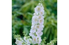 VERBASCUM PHOENICEUM - FLUSH OF WHITE PERENNIAL PLUG PLANT (5CM PLUG) - PRICED INDIVIDUALLY
