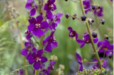 VERBASCUM PHOENICEUM VIOLETTA - PURPLE PERENNIAL 1 LITRE POTTED PLANT - PRICED INDIVIDUALLY