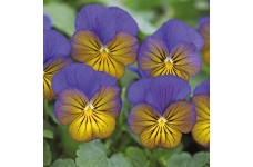 VIOLA CORNUTA SORBET PERENNIAL PANSY 1 LITRE POTTED PLANT - PRICED INDIVIDUALLY